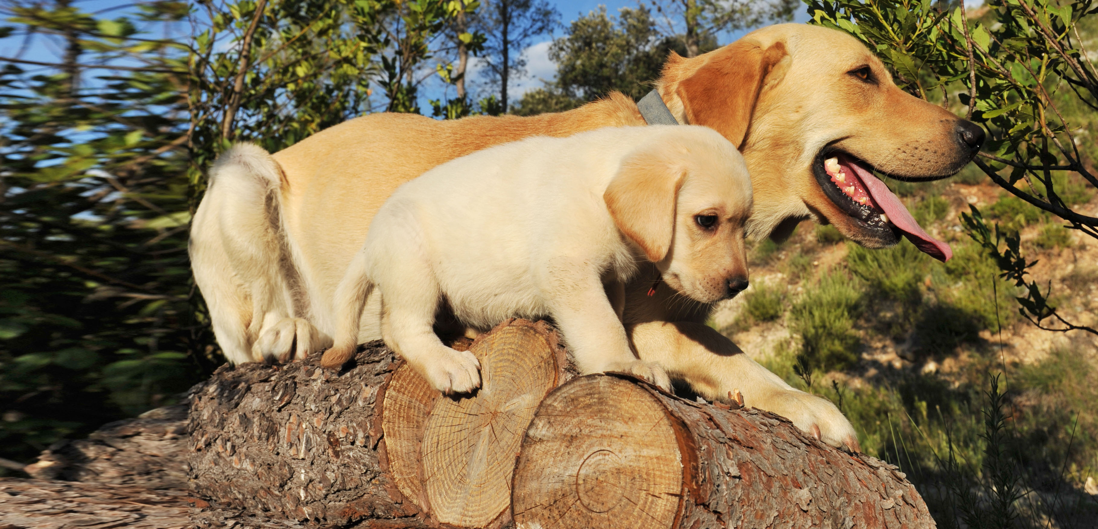 photodune-889420-labrador-puppy-and-adult-l-wide
